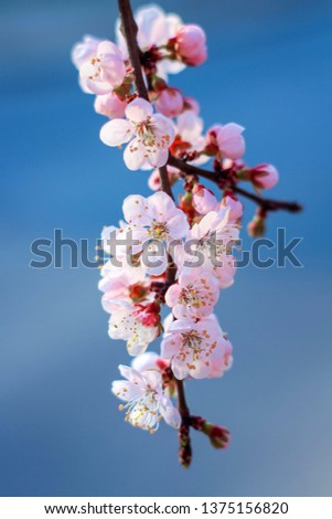 Cherry blossoms on a blue background #1375156820