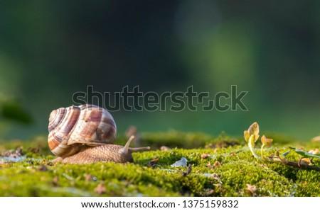Snail closeup. Burgundy snail (Helix, Roman snail, edible snail, escargot) on a surface with moss.Helix promatia Royalty-Free Stock Photo #1375159832