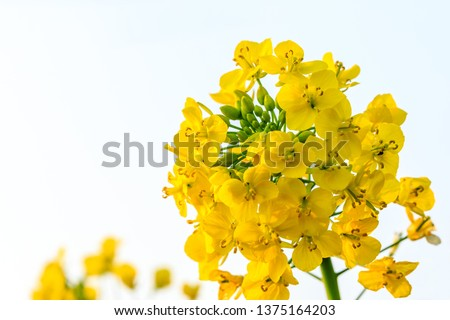 Close up of rape flower in the filed #1375164203