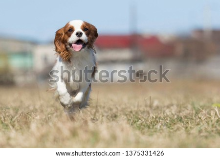 active dog breed spaniel runs #1375331426