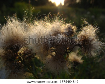 sunny morning and white thistle flowers #1375454849