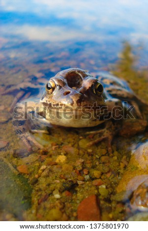 A frog with a hole in his head sits in clear water. Reptile in the natural environment, exclusive view, close-up.   #1375801970
