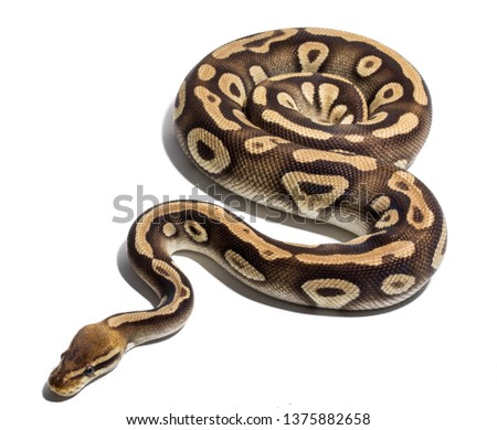 ball python on white background