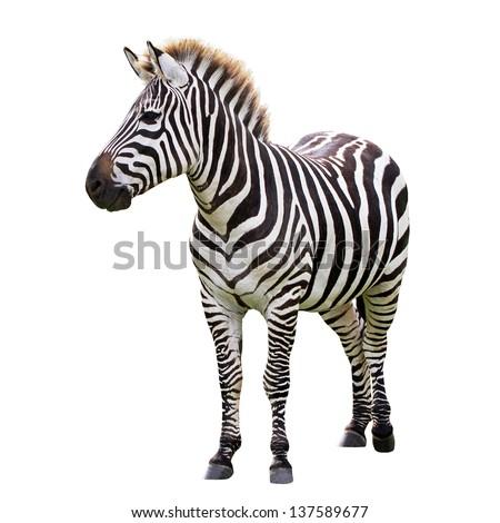 Zebra isolated on white Royalty-Free Stock Photo #137589677