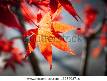 Maple leaf of the  temple of Buddhism Holy Land of Japan  #1375908716