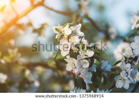 Spring time apple tree blossom background with sun. Beautiful nature scene with blooming apple tree and sun flare. Sunny spring wallpaper. #1375968914