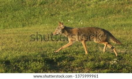 Urban coyote hunting