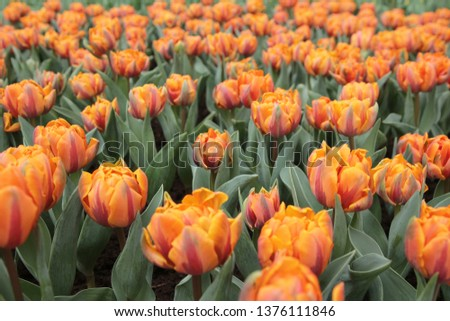 the Tulipa gesneriana at flower show 2014 #1376111846