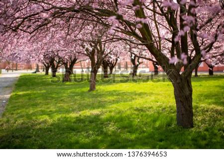 Cherry blossom trees #1376394653