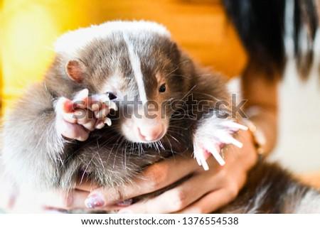 Adorable Pet skunk