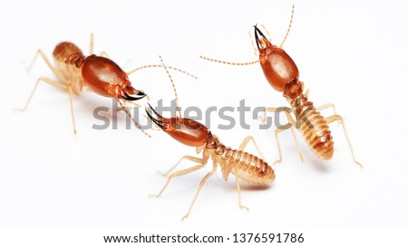 Termite on isolated whited background.