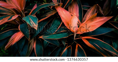 Leaf or plant Cordyline fruticosa leaves colorful vivid tropical nature background  Royalty-Free Stock Photo #1376630357