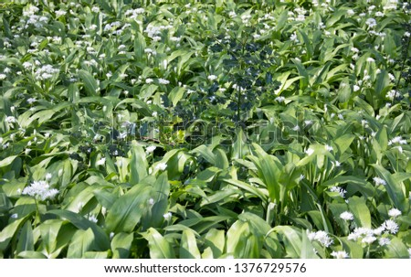 Wild garlic with sprigs of holly  #1376729576