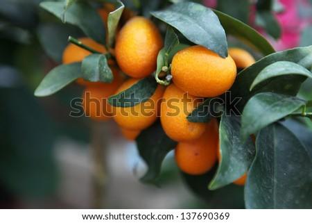 branch orange tree #137690369