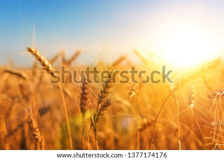 Harvest of ripe wheat against the blue sky. cereals, agriculture. #1377174176