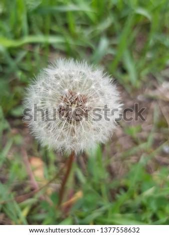 Fluffy dandelion in green grass #1377558632