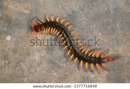 giant centipede or chilopoda on the cement floor Royalty-Free Stock Photo #1377756848