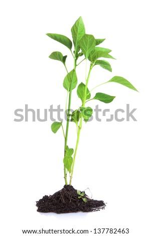 Pepper seedlings isolated on white #137782463