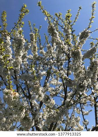 white cherry blossom #1377913325