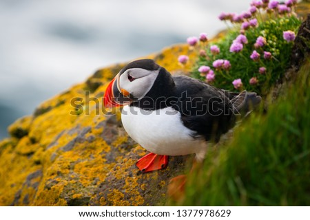 Atlantic puffin also know as common puffin is a species of seabird in the auk family. Iceland, Norway, Faroe Islands, Newfoundland and Labrador in Canada are known to be large colony of this puffin. #1377978629