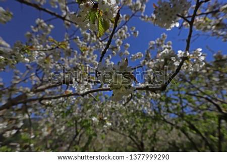 Blossoming cherry trees (Prunus avium) #1377999290