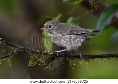 Green Warbler Finch (Certhidea olivacea) on the Galapagos islands. One of the Darwin's finches. Royalty-Free Stock Photo #1378086725