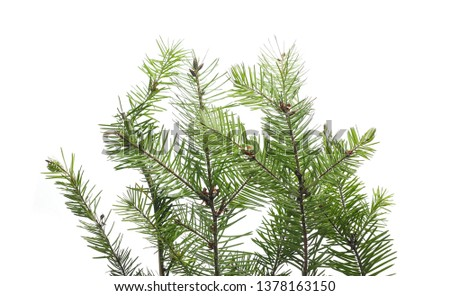 Pine branch isolated on white background with clipping path #1378163150