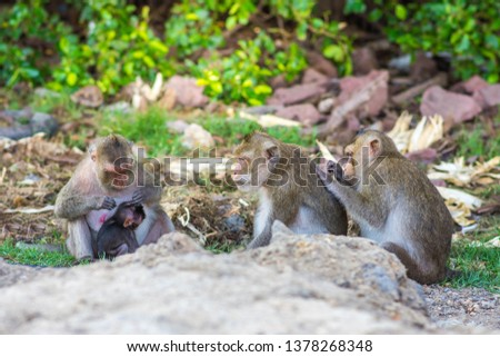 Macaca fascicularis. The monkeys living in mangrove forest at Bang Khun Thian District, Bangkok, Thailand. Photo with selective focus. #1378268348