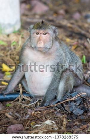 Macaca fascicularis. The monkeys living in mangrove forest at Bang Khun Thian District, Bangkok, Thailand. Photo with selective focus. #1378268375