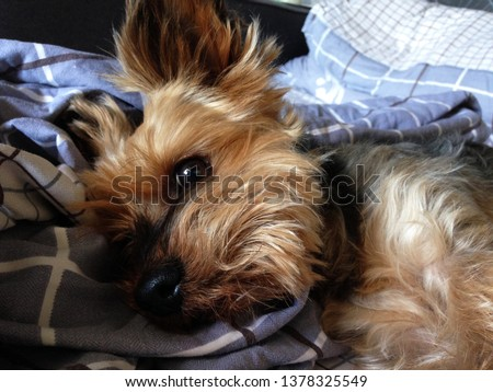 Macro photo animal dog breed Yorkshire Terrier. Puppy Yorkshire Terrier is sleeping on the bed. Fluffy Yorkshire terrier dog with a cute baby face