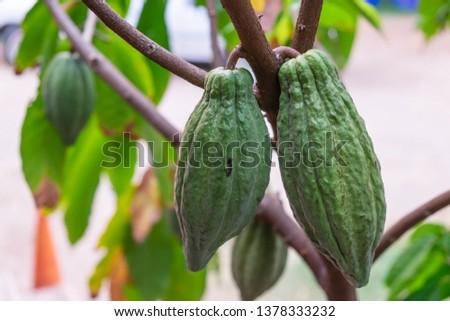 Fresh cocoa fruit at cacao tree #1378333232