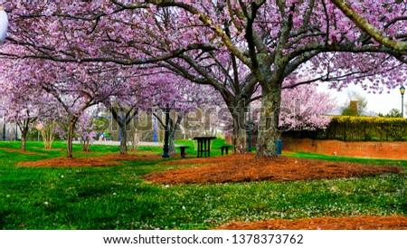 Sakura Trees Blooming In Spring #1378373762