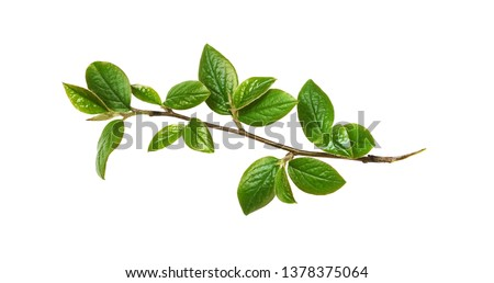 Spring twig with green leaves isolated on white #1378375064