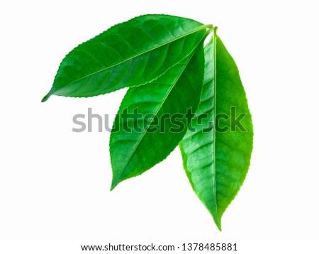 green leaves isolated on white background, fresh green tea leaves #1378485881