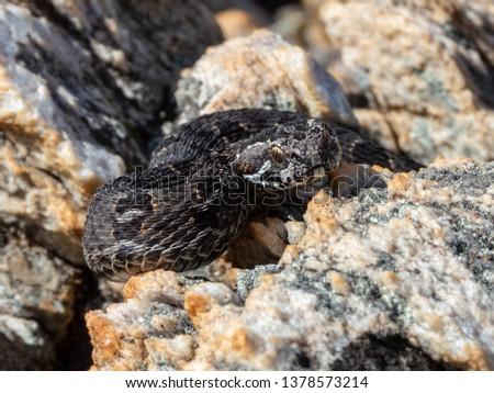 Berg Adder (Bitis atropos) #1378573214