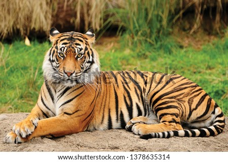 Portrait of a Royal Bengal Tiger alert and Staring at the Camera. National Animal of Bangladesh Royalty-Free Stock Photo #1378635314
