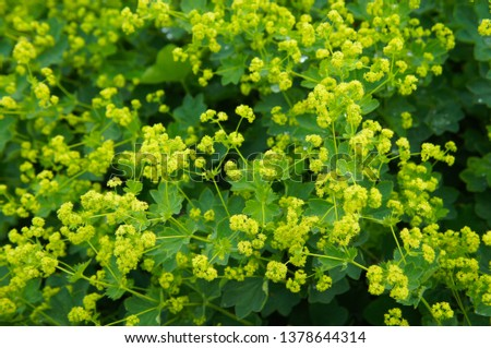 Alchemilla mollis garden lady's-mantle plant with yellow flowers #1378644314