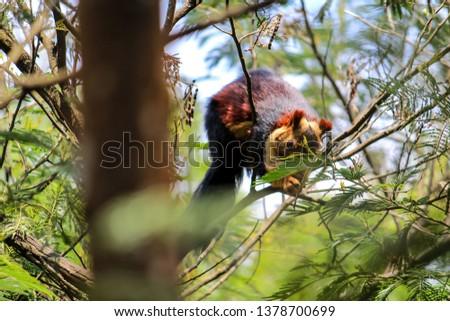 Malabar Giant Squirrel  #1378700699