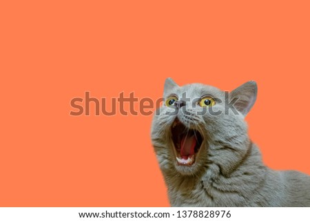 A lilac British cat looking up. The cat opened his mouth with a mad look. The concept of an animal that is surprised or amazed. The figure of a cat on an isolated background of coral color. #1378828976