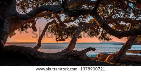Pahutukawa tree and beach at sunset, Goat Island Marine Reserve, Northland, New Zealand Royalty-Free Stock Photo #1378900721