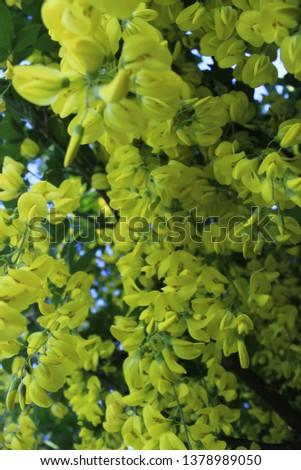 yellow hyacinth flower #1378989050