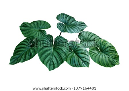 Heart shaped bicolors leaves of Philodendron plowmanii the rare exotic rainforest foliage plant isolated on white background, clipping path included. #1379164481