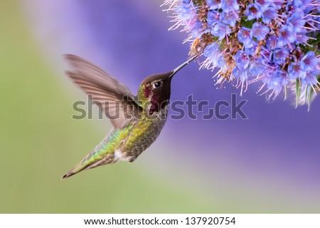 Anna's Hummingbird in flight with purple flower