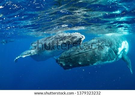 whale nature Tonga #1379323232