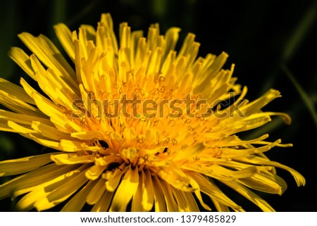 Dandelion blossom with beetles #1379485829