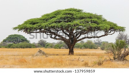 Acacia tree in zimbabwe - the symbol of Africa