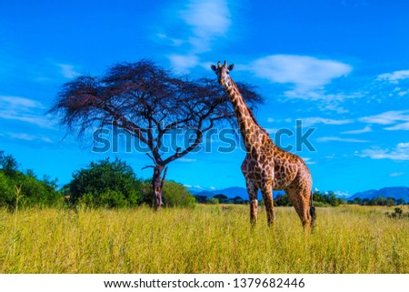 A large male giraffe in Ruaha National Park Royalty-Free Stock Photo #1379682446