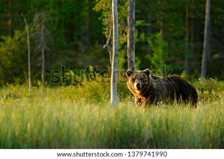 Sunset, morning light with big brown bear walking around lake in the morning light. Dangerous animal in nature forest and meadow habitat. Wildlife scene from Finland near Russian border. #1379741990