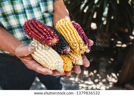 dried corn cob of different colors in mexican hands in mexico #1379836532