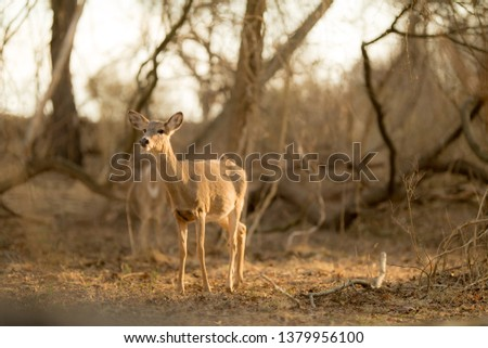 Young Whitetail Deer standing in the woods during sunrise.   The Deer were spotted in Playwicki Farms, located in Bucks County, Pennsylvania. #1379956100